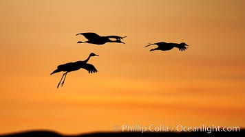 Sandhill cranes, silhouetted against a colorful sunset sky, Grus canadensis, Bosque del Apache National Wildlife Refuge, Socorro, New Mexico