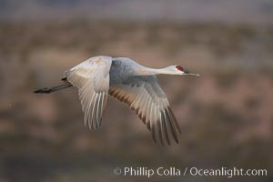A sandhill crane taking flight in soft predawn light, Grus canadensis, Bosque del Apache National Wildlife Refuge, Socorro, New Mexico