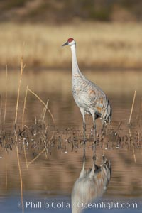 A sandhill crane is perfectly reflected, in mirror-calm waters at sunrise, Grus canadensis, Bosque del Apache National Wildlife Refuge, Socorro, New Mexico