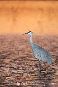 A sandhill cranes, standing in still waters with rich gold sunset light reflected around it. Bosque del Apache National Wildlife Refuge, Socorro, New Mexico, USA, Grus canadensis, natural history stock photograph, photo id 22037