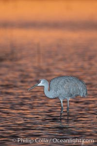A sandhill cranes, standing in still waters with rich gold sunset light reflected around it. Bosque del Apache National Wildlife Refuge, Socorro, New Mexico, USA, Grus canadensis, natural history stock photograph, photo id 22038