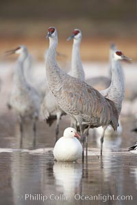 Sandhill cranes reflected in still waters, Grus canadensis, Bosque del Apache National Wildlife Refuge, Socorro, New Mexico