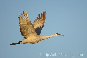 A sandhill crane in flight, spreading its wings wide which can span up to 6 1/2 feet, Grus canadensis, Bosque del Apache National Wildlife Refuge, Socorro, New Mexico