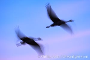 Sandhill cranes, flying across a colorful sunset sky, blur wings due to long time exposure, Grus canadensis, Bosque del Apache National Wildlife Refuge, Socorro, New Mexico