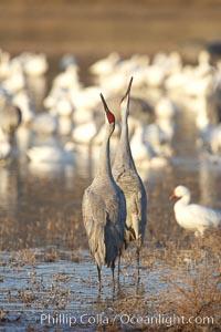 Sandhill cranes posture and socialize, Grus canadensis, Bosque del Apache National Wildlife Refuge, Socorro, New Mexico
