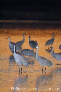 Sandhill cranes stand in shallow water reflecting golden sunset colors, Grus canadensis, Bosque del Apache National Wildlife Refuge, Socorro, New Mexico