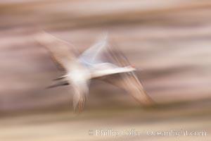 Sandhill crane in flight, wings are blurred in a long time exposure. Bosque Del Apache, Socorro, New Mexico, USA, Grus canadensis, natural history stock photograph, photo id 26247