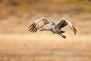Sandhill crane flying, early morning light, Grus canadensis, Bosque Del Apache, Socorro, New Mexico