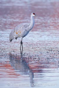 Sandhill crane resting in a shallow pond, reflected in still water with soft predawn light, Grus canadensis, Bosque del Apache National Wildlife Refuge, Socorro, New Mexico