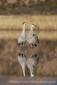Two sandhill cranes, reflected in mirror-still waters at sunrise. Bosque del Apache National Wildlife Refuge, Socorro, New Mexico, USA, Grus canadensis, natural history stock photograph, photo id 21970