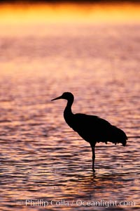 A sandhill cranes, standing in still waters with rich gold sunset light reflected around it, Grus canadensis, Bosque del Apache National Wildlife Refuge, Socorro, New Mexico