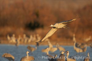 Sandhill cranes in flight in late afternoon light, Grus canadensis, Bosque del Apache National Wildlife Refuge, Socorro, New Mexico