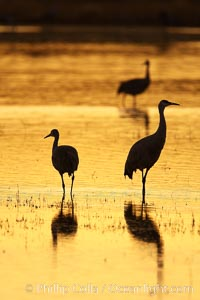 Sandhilll cranes in golden sunset light, silhouette, standing in pond. Bosque del Apache National Wildlife Refuge, Socorro, New Mexico, USA, Grus canadensis, natural history stock photograph, photo id 21992