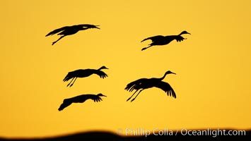 Image 21993, Sandhill cranes in flight, silhouetted against a richly colored evening sky. Bosque del Apache National Wildlife Refuge, Socorro, New Mexico, USA, Grus canadensis, Phillip Colla, all rights reserved worldwide. Keywords: animal, animalia, aves, bird, bosque del apache, bosque del apache national wildlife refuge, bosque del apache nwr, canadensis, chordata, crane, creature, gruidae, gruiformes, grus, grus canadensis, national wildlife refuge, national wildlife refuges, nature, new mexico, sandhill crane, socorro, usa, vertebrata, vertebrate, wildlife.