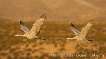Two sandhill cranes flying side by side, Grus canadensis, Bosque del Apache National Wildlife Refuge, Socorro, New Mexico