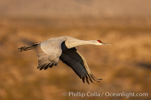 Sandhill crane flying, early morning light, Grus canadensis, Bosque Del Apache, Socorro, New Mexico