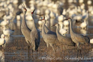 Sandhill cranes posture and socialize, Grus canadensis, Bosque del Apache National Wildlife Refuge, Socorro, New Mexico