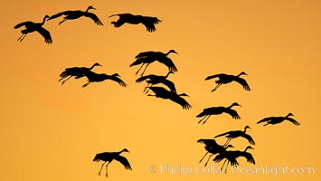 Sandhill cranes in flight, silhouetted against a richly colored evening sky, Grus canadensis, Bosque del Apache National Wildlife Refuge, Socorro, New Mexico