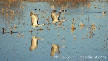 Sandhill cranes in synchonoos flight, reflected in still waters, Grus canadensis, Bosque del Apache National Wildlife Refuge, Socorro, New Mexico