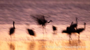 Sandhill cranes, blurred by long time exposure, colored by twilight hues, Grus canadensis, Bosque del Apache National Wildlife Refuge, Socorro, New Mexico