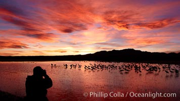 A photographer composes his perfect image of another beautiful sunset at Bosque del Apache National Wildlife Refuge, Grus canadensis, Socorro, New Mexico