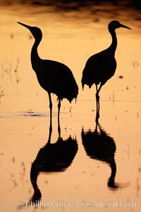 Two sandhill cranes stand side by side in a golden silhouette, mirrored in still water, Grus canadensis, Bosque del Apache National Wildlife Refuge, Socorro, New Mexico