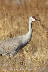 Sandhill crane portrait, as it forages in tall grass, Grus canadensis, Bosque del Apache National Wildlife Refuge, Socorro, New Mexico