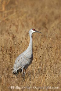 Sandhill crane portrait, as it stands while foraging in grass, Grus canadensis, Bosque del Apache National Wildlife Refuge, Socorro, New Mexico