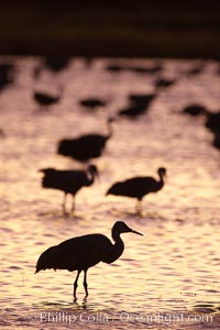 Sandhill crane silhouette, standing in crane pool at sunset, Grus canadensis, Bosque del Apache National Wildlife Refuge, Socorro, New Mexico