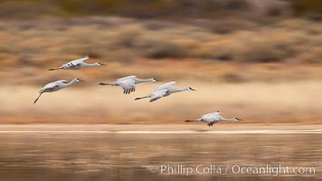 Image 26224, Sandhill cranes flying, wings blurred from long time exposure. Bosque Del Apache, Socorro, New Mexico, USA, Grus canadensis, Phillip Colla, all rights reserved worldwide. Keywords: bird, blur, bosque del apache, bosque del apache national wildlife refuge, bosque del apache nwr, canadensis, crane, gruidae, gruiformes, grus, grus canadensis, motion, motion blur, national wildlife refuge, new mexico, sandhill crane, wildlife.