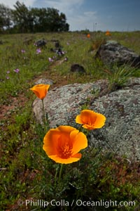 California poppies grow on Santa Rosa Plateau in spring. Santa Rosa Plateau Ecological Reserve, Murrieta, California, USA, Eschscholzia californica, Eschscholtzia californica, natural history stock photograph, photo id 24371