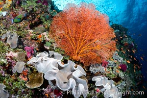 Sarcophyton leather coral and sea fan gorgonian on pristine coral reef, Fiji, Sarcophyton, Gorgonacea, Plexauridae