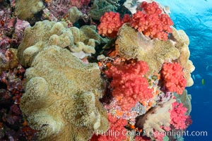 Sarcophyton leather coral and sea fan gorgonian on pristine coral reef, Fiji, Sarcophyton, Gorgonacea