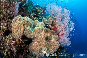 Sarcophyton leather coral on coral reef, Fiji, Gorgonacea, Sarcophyton, Bligh Waters