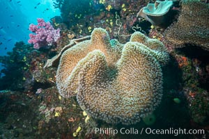 Sarcophyton leather coral on diverse coral reef, Fiji. Namena Marine Reserve, Namena Island, Fiji, Sarcophyton, natural history stock photograph, photo id 31405
