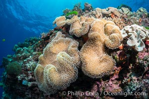 Sarcophyton leather coral on diverse coral reef, Fiji. Vatu I Ra Passage, Bligh Waters, Viti Levu  Island, Fiji, Sarcophyton, natural history stock photograph, photo id 31495