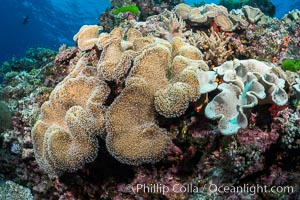 Sarcophyton leather coral on diverse coral reef, Fiji, Sarcophyton, Vatu I Ra Passage, Bligh Waters, Viti Levu  Island