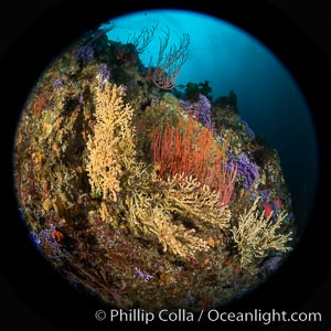 Gorgonian (yellow) that has been parasitized by zoanthid anemone (Savalia lucifica), and red gorgonian (Leptogorgia chilensis), Farnsworth Banks, Catalina Island, Leptogorgia chilensis, Lophogorgia chilensis