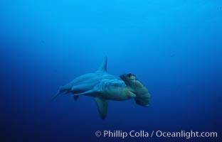 Scalloped hammerhead shark. Cocos Island, Costa Rica, Sphyrna lewini, natural history stock photograph, photo id 03194