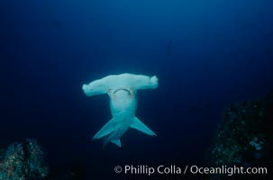 Scalloped hammerhead shark. Cocos Island, Costa Rica, Sphyrna lewini, natural history stock photograph, photo id 03196
