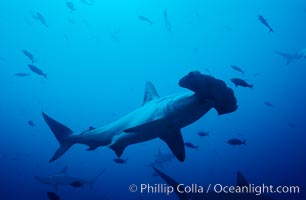 Scalloped hammerhead shark. Cocos Island, Costa Rica, Sphyrna lewini, natural history stock photograph, photo id 03198