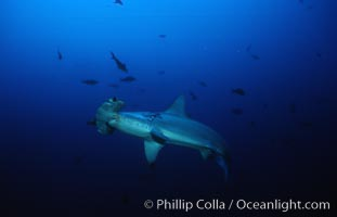 Scalloped hammerhead shark. Cocos Island, Costa Rica, Sphyrna lewini, natural history stock photograph, photo id 03200