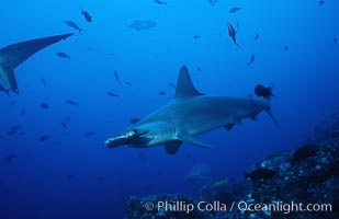 Scalloped hammerhead shark. Cocos Island, Costa Rica, Sphyrna lewini, natural history stock photograph, photo id 03203