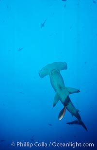 Image 03205, Scalloped hammerhead shark. Cocos Island, Costa Rica, Sphyrna lewini, Phillip Colla, all rights reserved worldwide. Keywords: animal, animalia, carcharhiniformes, chondrichthyes, chordata, cocos island, cocos island national park, cornuda, costa rica, danger, elasmobranch, elasmobranchii, fear, hammerhead, hammerhead shark, jaws, lewini, marine, ocean, oceans, outdoors, outside, pacific, predator, risk, scalloped hammer head shark, scalloped hammerhead, scalloped hammerhead shark, sea, shark, sphyrna, sphyrna lewini, sphyrnidae, submarine, tiburon martillo, underwater, vertebrata, wildlife, world heritage sites.