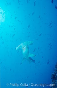 Scalloped hammerhead shark. Cocos Island, Costa Rica, Sphyrna lewini, natural history stock photograph, photo id 03206