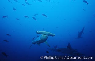 Scalloped hammerhead shark. Cocos Island, Costa Rica, Sphyrna lewini, natural history stock photograph, photo id 03207
