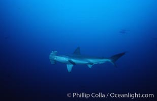 Scalloped hammerhead shark. Cocos Island, Costa Rica, Sphyrna lewini, natural history stock photograph, photo id 03211