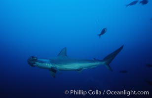 Scalloped hammerhead shark. Cocos Island, Costa Rica, Sphyrna lewini, natural history stock photograph, photo id 03212