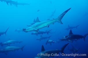 Image 03216, Scalloped hammerhead shark. Cocos Island, Costa Rica, Sphyrna lewini, Phillip Colla, all rights reserved worldwide. Keywords: animal, animalia, carcharhiniformes, chondrichthyes, chordata, cluster, cocos island, cocos island national park, cornuda, costa rica, creature, danger, elasmobranch, elasmobranchii, fear, fish, fishes, group, hammerhead, hammerhead shark, jaws, lewini, marine, nature, ocean, oceans, outdoors, outside, pacific, predator, risk, scalloped hammer head shark, scalloped hammerhead, scalloped hammerhead shark, school, schooling, sea, shark, shark behavior, sphyrna, sphyrna lewini, sphyrnidae, submarine, tiburon martillo, underwater, vertebrata, wildlife, world heritage sites.