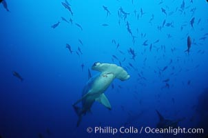 Scalloped hammerhead shark. Cocos Island, Costa Rica, Sphyrna lewini, natural history stock photograph, photo id 03241
